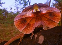 Frilled Neck Lizard 1. Wayne Turner Photography