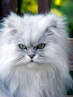 "persian cat, ""Cotton"""