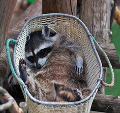 Sleeping raccoons by Olga Gladysheva. One can be seen sleeping beside the basket on the left. Funny how its tongue is sticking out.