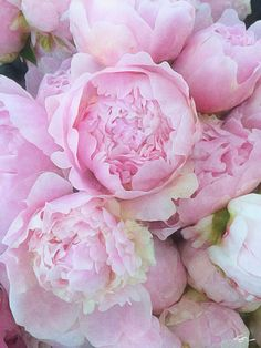 Peonies from Red Twig Farm Peony Flower, Cactus Flower, My Flower, Dahlia, Pink Roses, Pink Flowers, Tea Roses, Yellow Roses, Coral Peonies