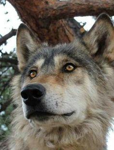 Amber eyed wolf is a beauty! Wolf Photos, Wolf Pictures, Animal Pictures, Wolf Spirit, Spirit Animal, Beautiful Creatures, Animals Beautiful, Tier Wolf, Malamute
