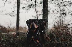 #lemmikkikuvaus #koirakuvaus #dogphotography Dog Photography, Rottweiler, Dogs, Animals, Instagram, Animales, Animaux, Pet Dogs, Rottweilers