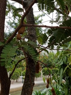 Tamarind Edible Wild Plants, Tamarind, Tamarindo