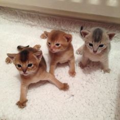 Baby Kittens, Kittens Cutest, Cute Cats, Cats And Kittens, Abyssinian Kittens, Cute Pictures, Beautiful Pictures, Somali, Cat Stuff