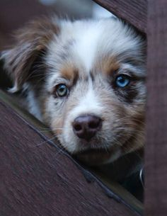 Charley. Our Aussie Puppy Pic by Meg Harrington
