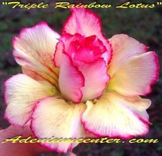 Adenium 'Triple Rainbow Lotus' - All right, I think it's official that I like a lot of the Adenium Center's flowers and maybe I have a thing for the pink and yellows.