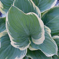 Hosta perennial hybrids