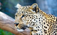 #1439972, Widescreen leopard image
