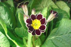 Primula Veris -  www.Gartneriet-Landstedet.dk