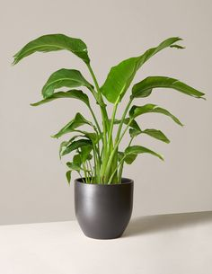 Looking for a tree to liven up your house or apartment? From low-maintenance trees to pet-safe plants, we found the best indoor trees to buy online. Indoor Floor Plants, Large Indoor Plants, Indoor Trees, Indoor Planters, Summer Plants, Fall Plants, Indoor Gardening Supplies, Birds Of Paradise Plant, Plants Delivered