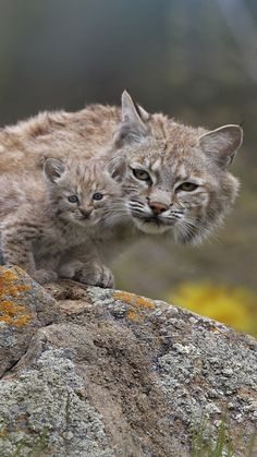 Lynx - that little baby is almost camouflaged by his mom... adorable!