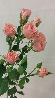 Rose - Lydia