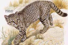 Tigrillo, Central Chile Kodkod, Leopardus guigna tigrillo