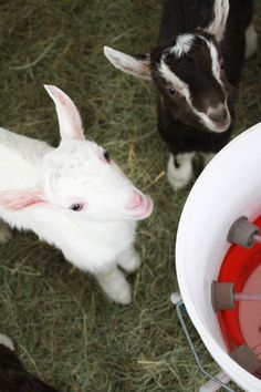 Kids at Ayers Brook Goat Dairy @Vermont Creamery
