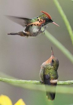 Tufted Coquette ( Lophornis ornatus): scenes from a courtship