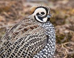 Mearns Quail Hunting in Arizona