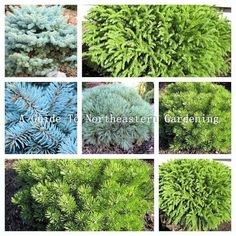 Dwarf Globe Conifers are a beautiful addition to have in any landscape. Along with their varying colors and textures they are also the perfect size to fit into just about any landscape plan including entrance gardens, evergreen and perennial gardens, poo Landscaping Tips, Garden Landscaping, Dwarf Trees For Landscaping, Tropical Landscaping, Colorado Landscaping, Inexpensive Landscaping, Country Landscaping, Dwarf Shrubs, Dwarf Evergreen Shrubs