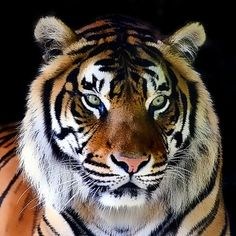 It's better to live one year as a Tiger than 100 years as a Sheep