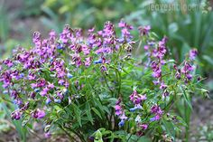 Look no further than Lathyrus vernus - the Spring Pea if you want a beautiful clump forming plant for a partially shaded area in Spring. Spring Flowering Bulbs, Spring Blooms, Gardening Photography, Low Maintenance Plants, Hardy Perennials, Woodland Garden, Seed Pods, Cool Plants, Spring Garden