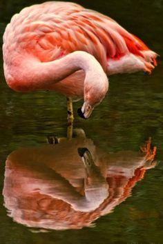 Amazing wildlife - Caribbean Flamingo photo #flamingos