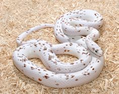 Palmetto Corn Snake Color Morph