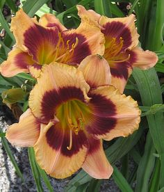 Photo of Daylily (Hemerocallis 'Bam') uploaded by vic