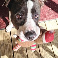 Pictures of Bo a Pit Bull Terrier for adoption in Portland, OR who needs a loving home.