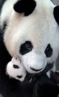 Mother with baby panda