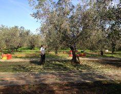 Olive Oil Tasting Le Ferre
