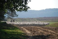 Pour sheep