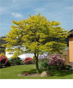 gleditsia triacanthos 'sunburst' - Google Search