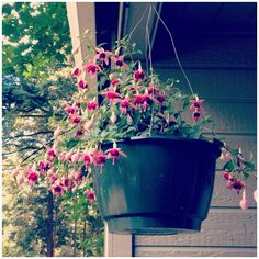 Fuchsia -- makes a great hanging basket for shade.