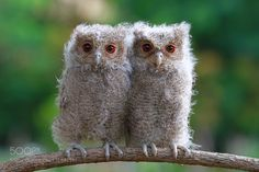 Baby owl by kurit33. @go4fotos