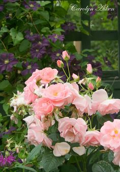 Roses & clematis