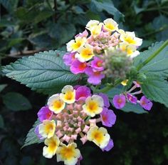 The Lantana bush, aka shrub verbena, is a  heat- and sun-tolerant naturalized plant along the Gulf Coast Texas & can be found growing in the wild in several places.  I have several of these growing in my yard that came up wild, but we enjoy them for the hummingbirds & butterflies that they attract, so we let them grow.