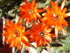 flores de cactus. Santiago-Chile