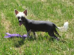 I found the toy mom, now what :)  Chinese Crested dog, 5 months old, true hairless puppy