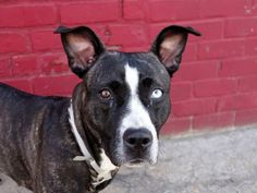 GONE 8/22/14 Brooklyn Center   My name is NINA. My Animal ID # is A1011024. I am a female black and white pit bull mix. The shelter thinks I am about 1 YEAR   I came in the shelter as a OWNER SUR on 08/18/2014 from NY 11208, owner surrender reason stated was NO TIME.    https://www.facebook.com/photo.php?fbid=858617737484440