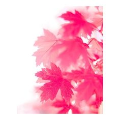 maple leaf photography nature photography, autumn, pink, red,... (125 BRL) ❤ liked on Polyvore featuring home, home decor, wall art, backgrounds, fall, leaves, filler, photographic wall art, white home decor and red home accessories