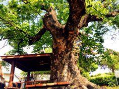 100년 된 느티나무, - 둔지미 마을