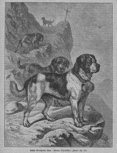 St. Bernard dog -- Koira (A. G. Brehmin mukaan), 01.01.1892 Kyläkirjaston Kuvalehti no 8 - Aikakauslehdet - Digitoidut aineistot - Kansalliskirjasto