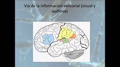 [Neurociencias] Procesamiento del Lenguaje (Area de Broca y Wernicke)