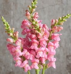 This page gives instructions on how to buy snapdragon flower seeds from David's Garden Seeds. Bulb Flowers, Pink Flowers, Snapdragon Flowers, Antirrhinum, Garden Seeds, Garden Plants, Flower Farm, Edible Flowers, Types Of Plants
