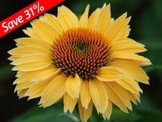 Echinacea Sombrero Sandy Yellow blooms the first year with brilliant yellow blooms