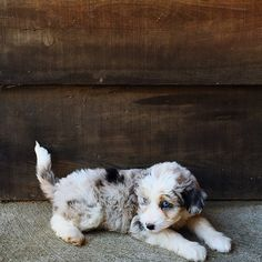 zoe the aussiedoodle | animals + pet photography #dogs