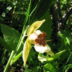 Coelogyne speciosa | Coelogyne speciosa - Großräschener Orchideen