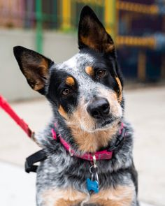 My name is Angie 😊🐺💖 — Cookie, Australian Cattle Dog, Stanton & Norfolk. Mastiff, Clumping Cat Litter, Cat Care Tips, Owning A Cat, Cat Behavior, Australian Cattle Dog, Dog Names, Cat Gif, All Dogs