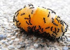 Your home is being invaded? These natural home remedies for ants will help you get rid of them quickly and without any chemicals. Get Rid Of Flies, Get Rid Of Ants, Home Remedies For Ants, Natural Home Remedies, Ant Removal, Ideas Para Organizar, Diy Home Repair, Garden Pests, Natural Solutions