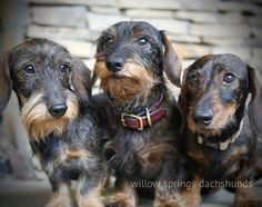 Dachshund Breeders, Daschund, Dachshunds For Sale, Cute Dogs, Cute Babies, Willow Springs, Wire Haired Dachshund, Cute Baby Animals, Dog Pictures