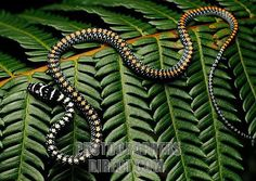 Paradise Tree Snake ( Chrysopelea Paradisi ) , A Flying Snake From The Tropical . Pretty Snakes, Cool Snakes, Beautiful Snakes, Flora Und Fauna, Reptiles And Amphibians, Circle Of Life, Insects, Beaded Necklace, Creatures